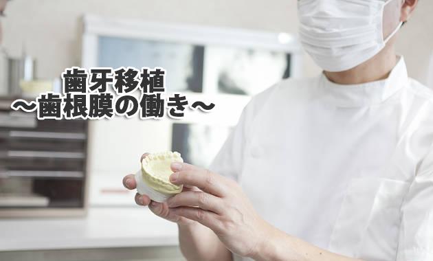 歯牙移植~歯根膜の働き~|兵庫県川西市の歯科「市川歯科医院」